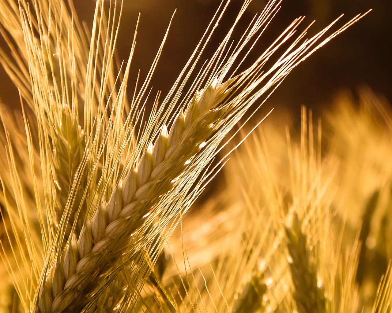 Animated Girly Wallpapers Barley Wallpaper Plants Nature Wallpapers In Jpg Format