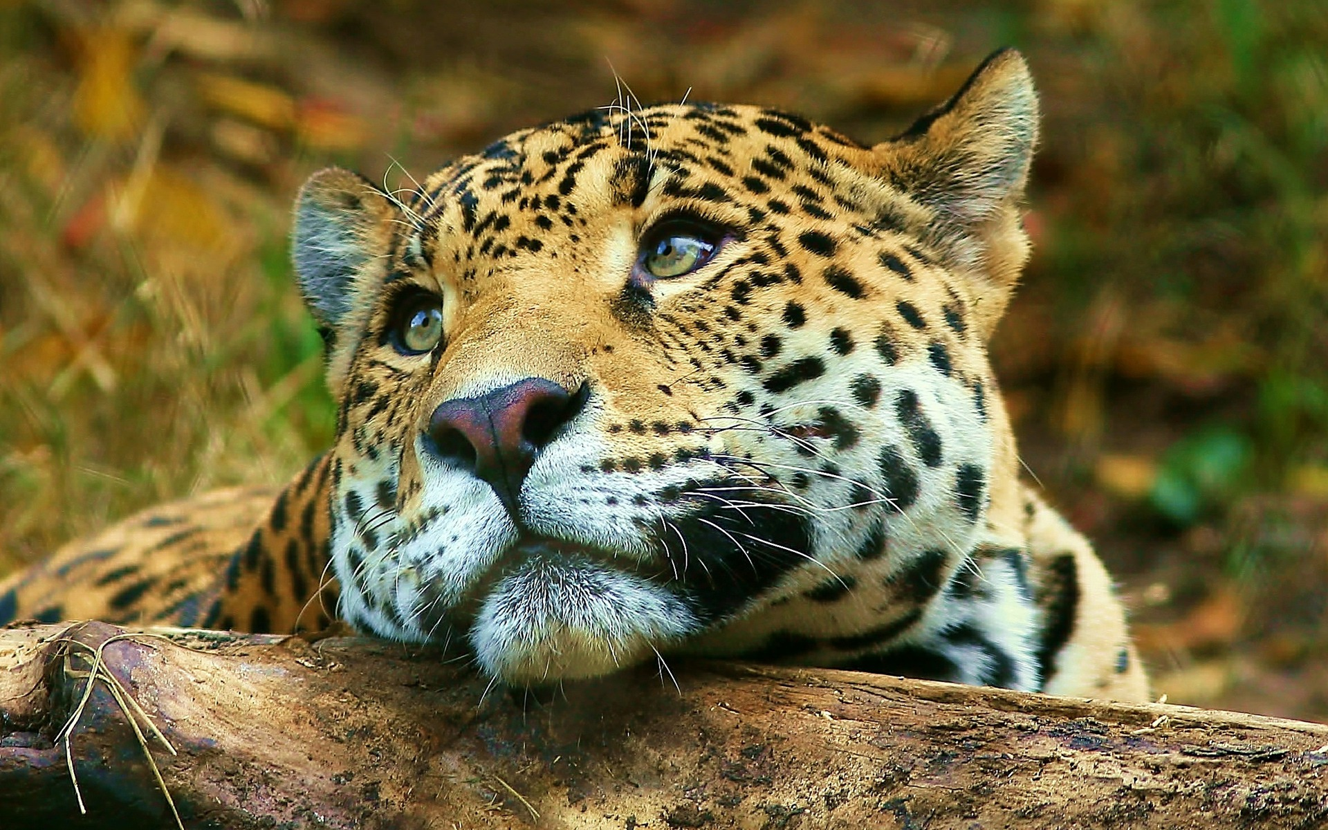 Leopard Daydreaming Wallpaper Big Cats Animals Wallpapers