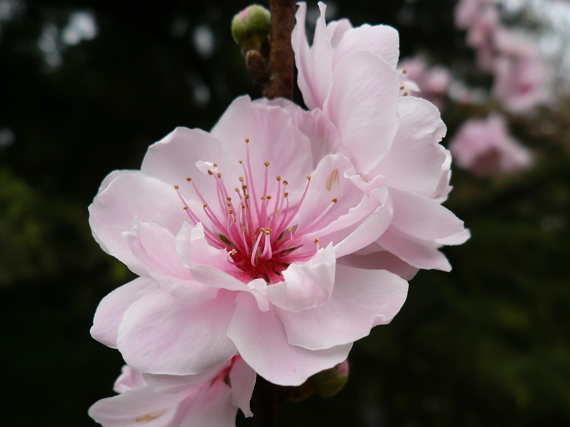 Beautiful Colorful Girls Anime Sakura Wallpaper Cherry Flower Wallpaper Plants Nature Wallpapers In Jpg
