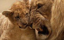 Lion Mother Cub Wallpapers In Format Free