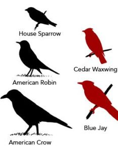 Comparative sizes of birds also bird id skills size  shape all about rh allaboutbirds