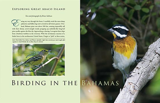 Birding in the Bahamas All About Birds