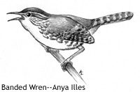 Sounding Out the Dawn Chorus of Banded Wrens in Costa Rica
