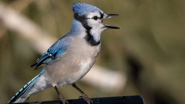 why are blue jays