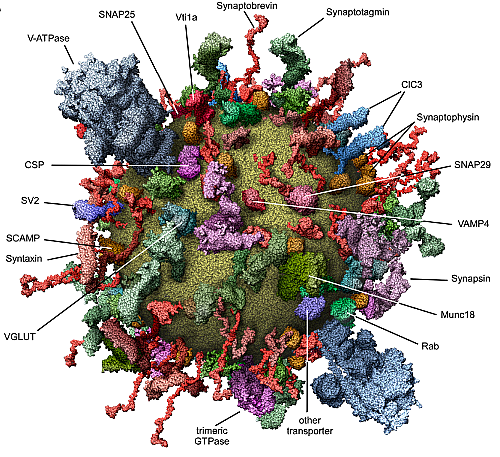 A neural vesicle studded with proteins