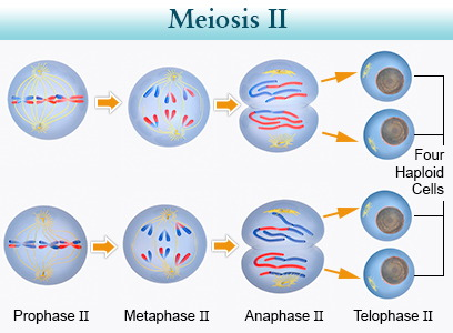 6 chromosomes crossing over diagram two speed motor wiring 3 phase biology- mitosis and meiosis| askiitians
