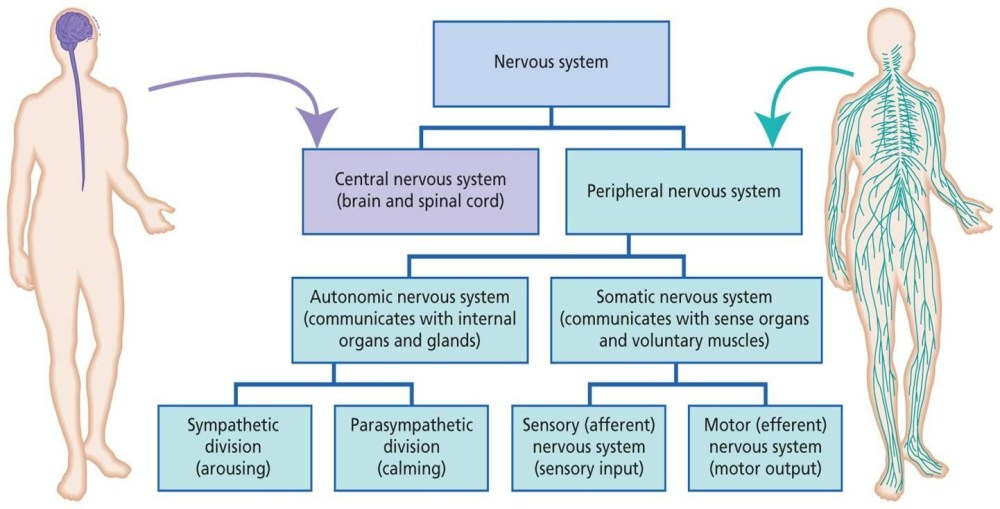 medium resolution of divisions of nervous system