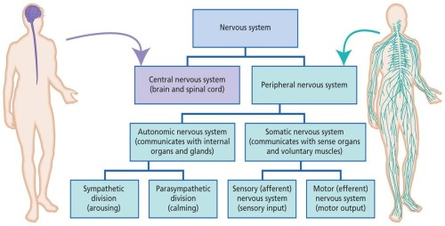 small resolution of divisions of nervous system