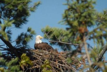 2016 a Record Year for Vermont Bald Eagles