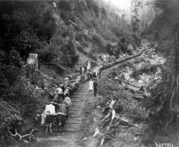 Carrying lumber by oxen to Redwood Creek for barging to San Francisco in 1850s.