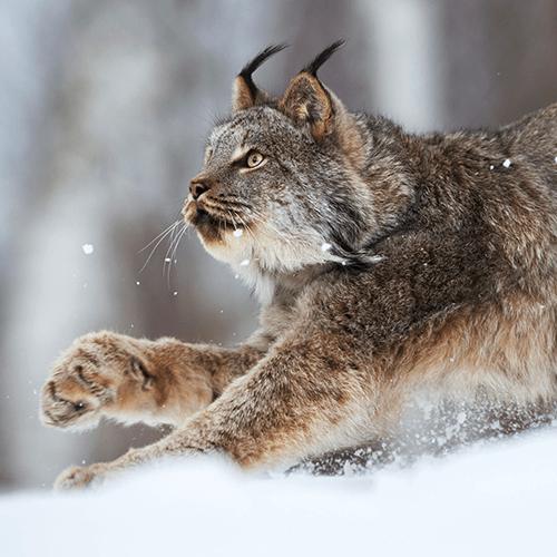 Lynx Victory