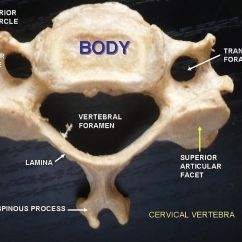 Typical Thoracic Vertebrae Diagram Wiring For Large 7 Pin Trailer Plug Difference Between Cervical And | Vs