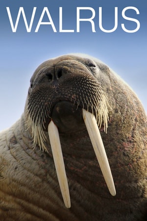 Walrus Cam - Live Video of Walruses on Round Island ...
