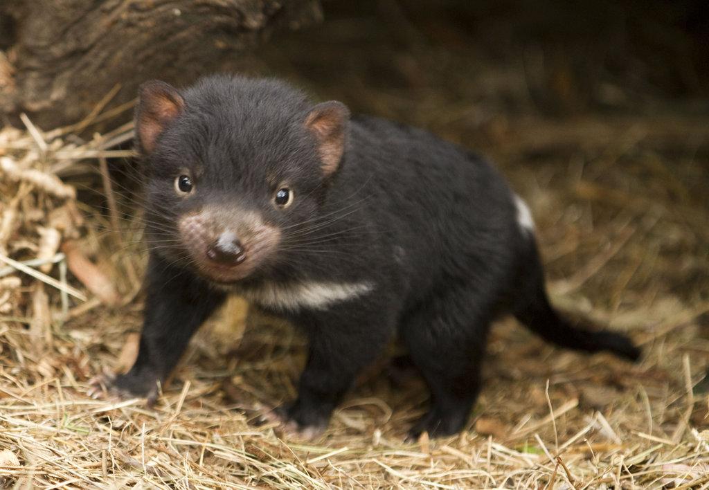 help save the tasmanian