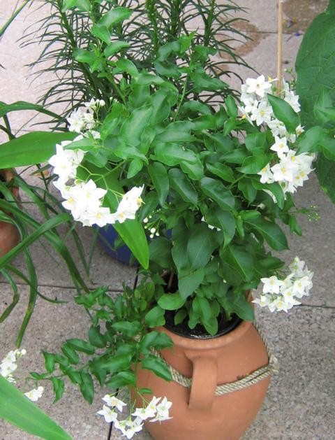 Kbel und Zimmerpflanzen  Jasmin Solanum