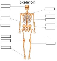 Bones (Skeleton) Basic worksheet [ 1048 x 1000 Pixel ]