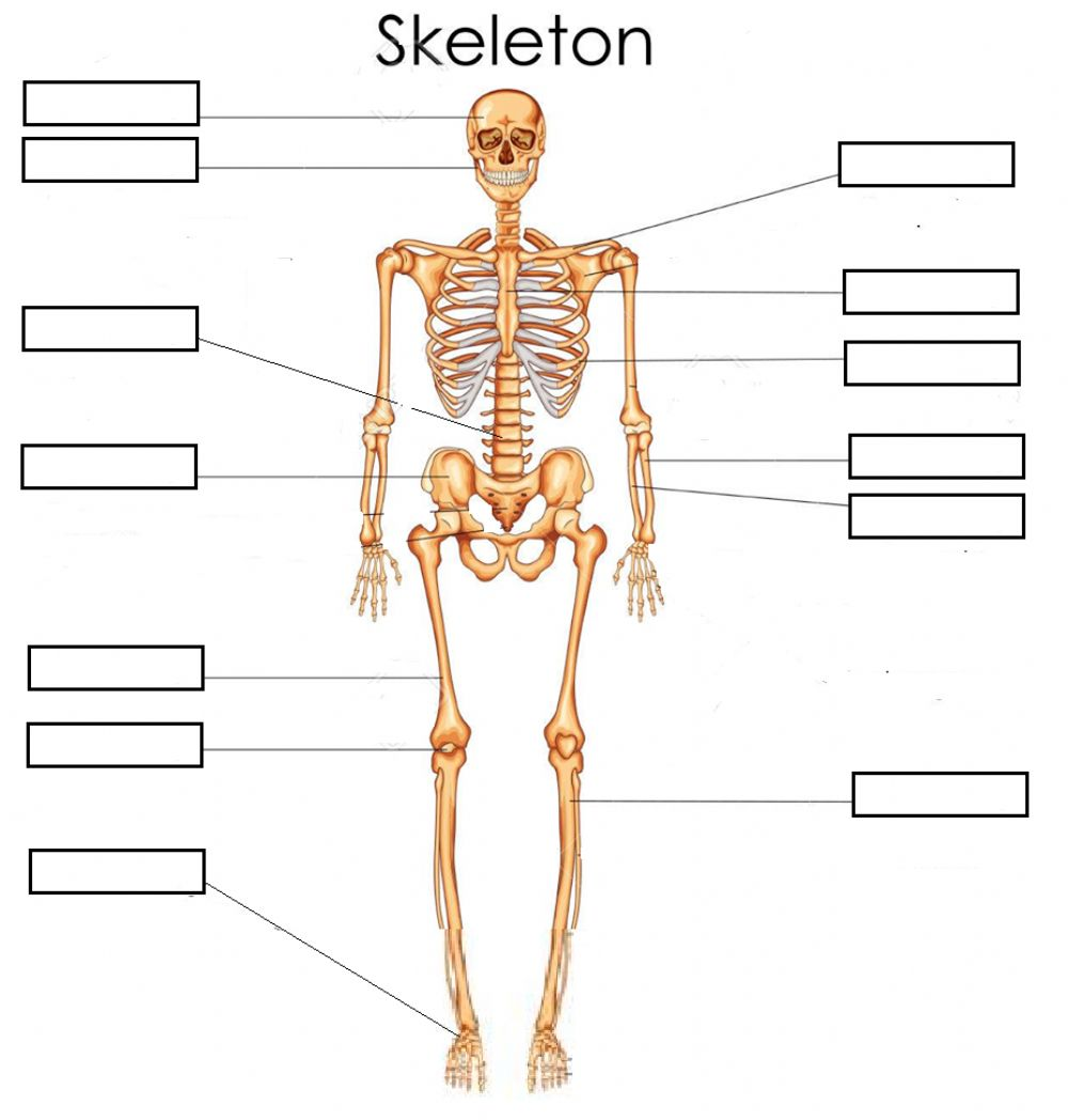 hight resolution of Bones (Skeleton) Basic worksheet