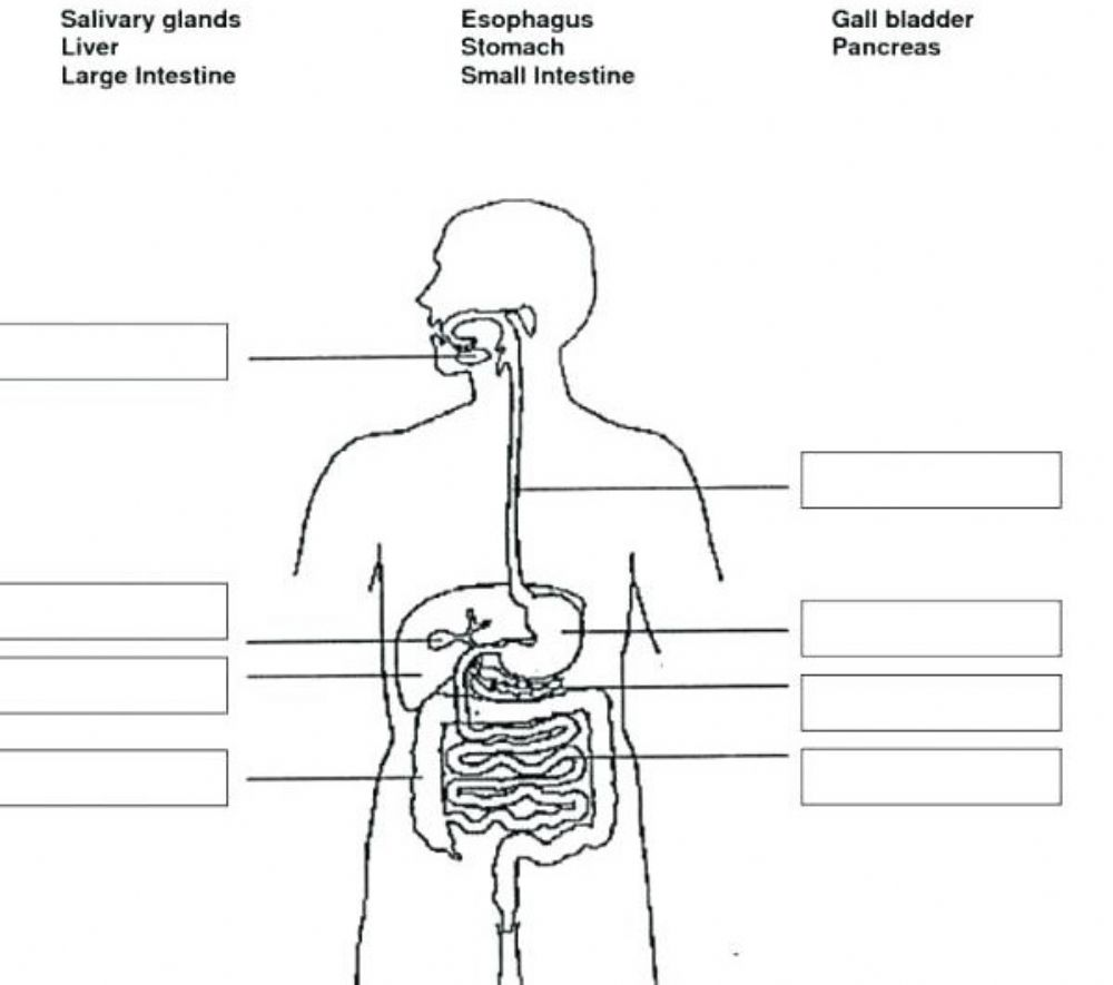 hight resolution of Digestive system worksheet