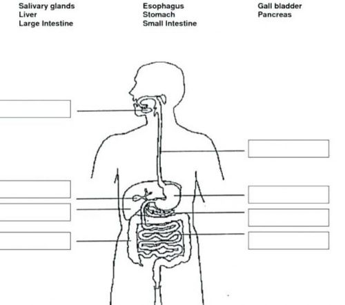 small resolution of Digestive system worksheet