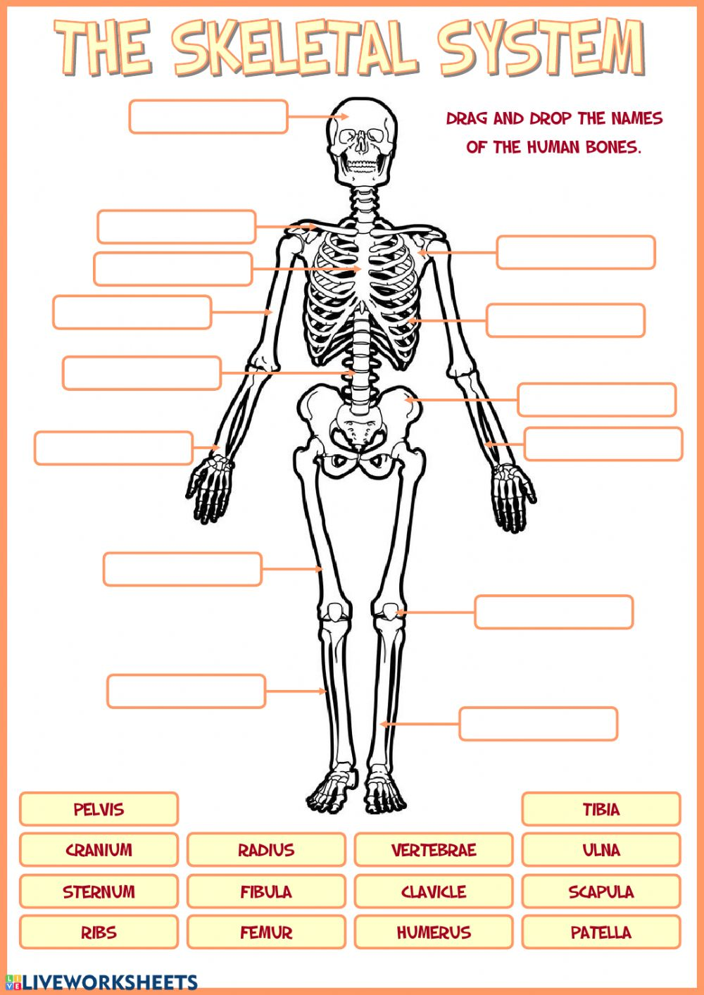 hight resolution of Skeletal system worksheet