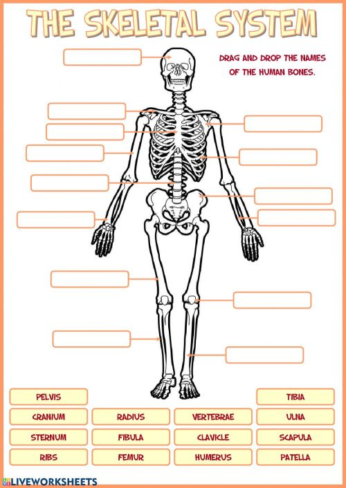small resolution of Skeletal system worksheet