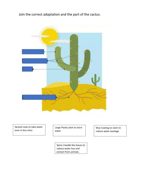 small resolution of Cactus adaptations worksheet