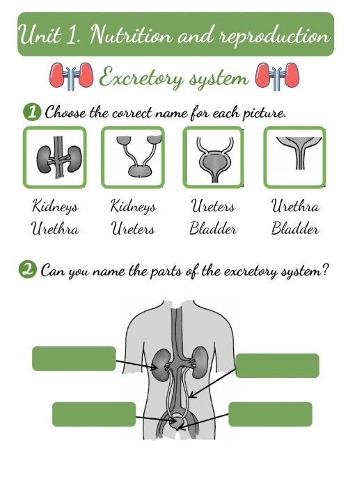 small resolution of Excretory system worksheet for 2ND GRADE