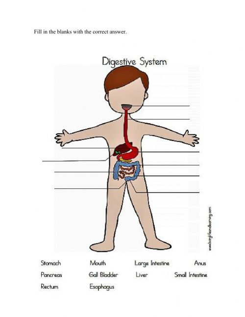 small resolution of Digestive System activity for Grade 6