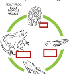 Life cycle of a frog activity [ 1335 x 1000 Pixel ]