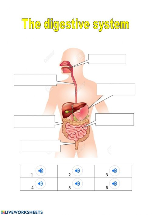small resolution of The digestive system exercise