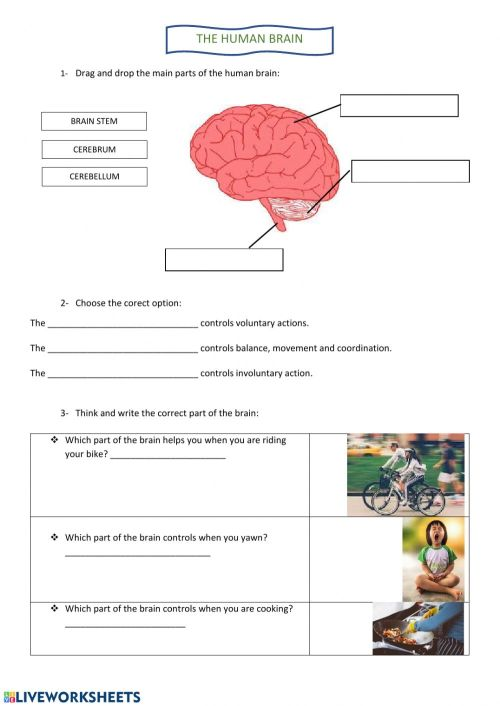 small resolution of The human brain worksheet
