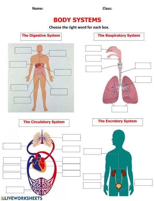 small resolution of Body Systems activity