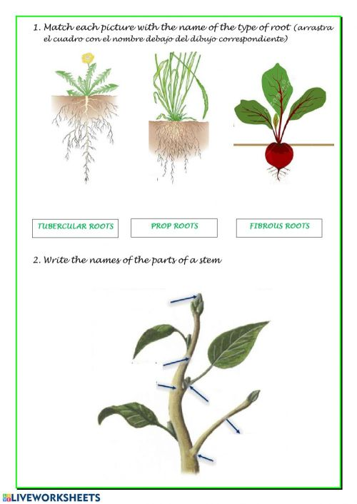 small resolution of Vegetative parts of a plant worksheet