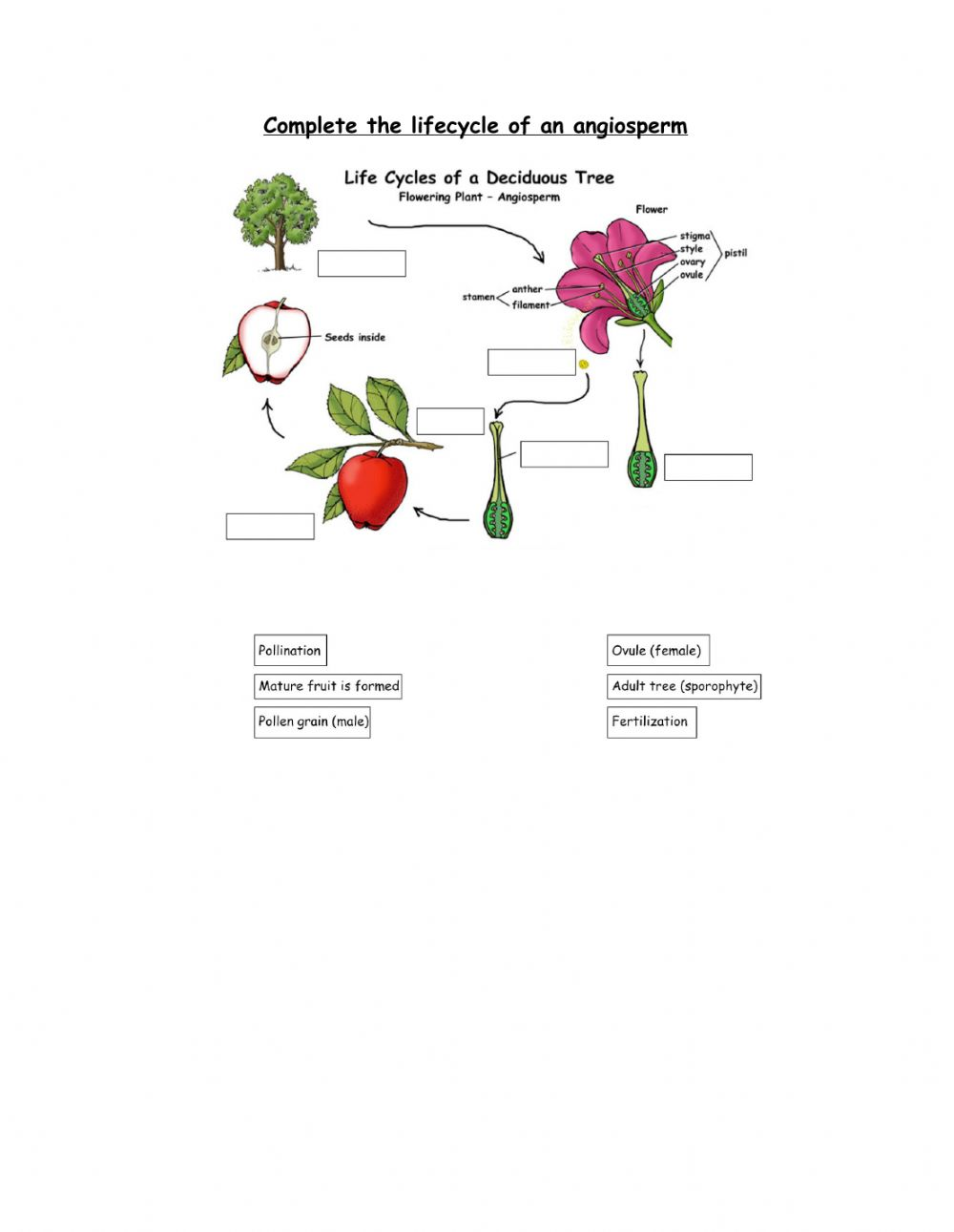 hight resolution of Life cycle of angiosperm worksheet