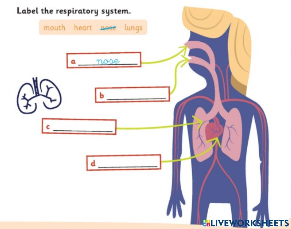 hight resolution of Respiratory system exercise for 2ND GRADE