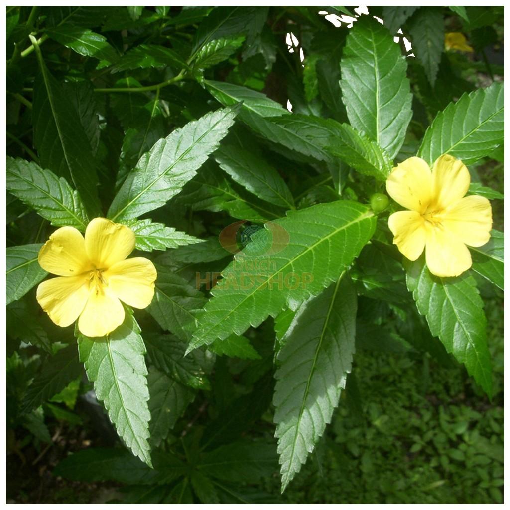 1592942228308_damiana-extract-10x-gram-turnera-diffusa-5-1.jpg