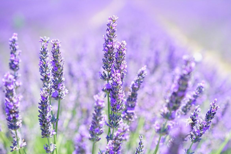 1592942310893_lavender-blossom.jpg