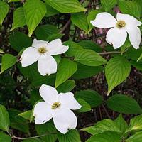 Eastern Flowering Dogwood; Image Source http://goo.gl/ATZlOi