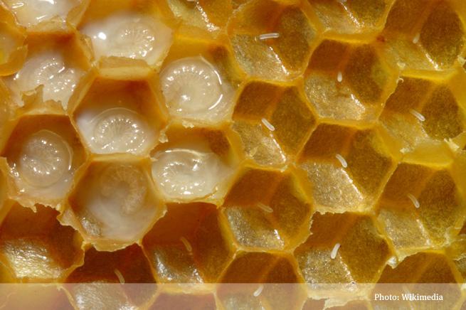 Bienenwabe mit Eiern und Brut 5 655