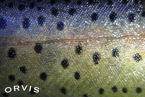 salmonidquiz