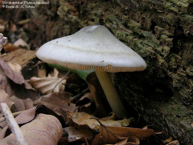 Pluteus salicinus  Mushroom Hunting and Identification