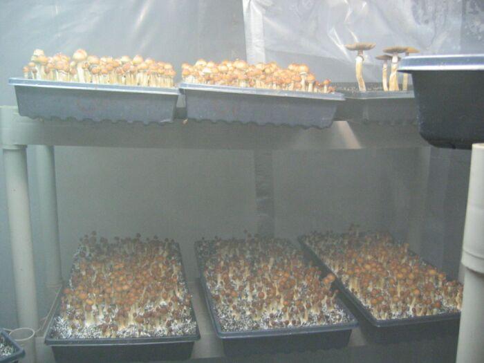 Ultimate Grow Room  Mushroom Cultivation  Shroomery