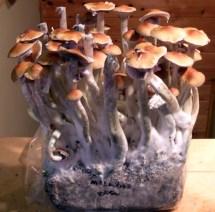 Grow Bag Fruiting Magic Mushrooms - Year of Clean Water