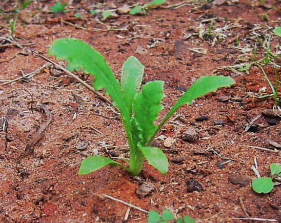 Papaver Somniferum Seedlings
