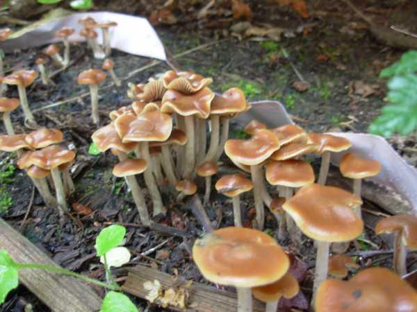 Shroomery Mushroom Hunting