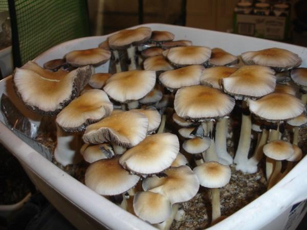 20+ Bulk Mushroom Tek Pictures and Ideas on STEM Education Caucus