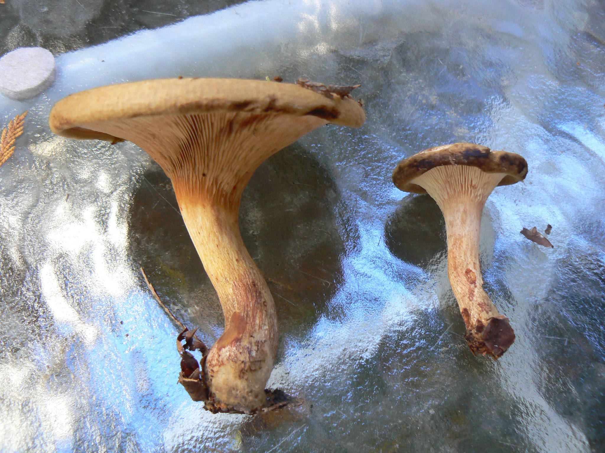Decurrent gilled agaric   Mushroom Hunting and