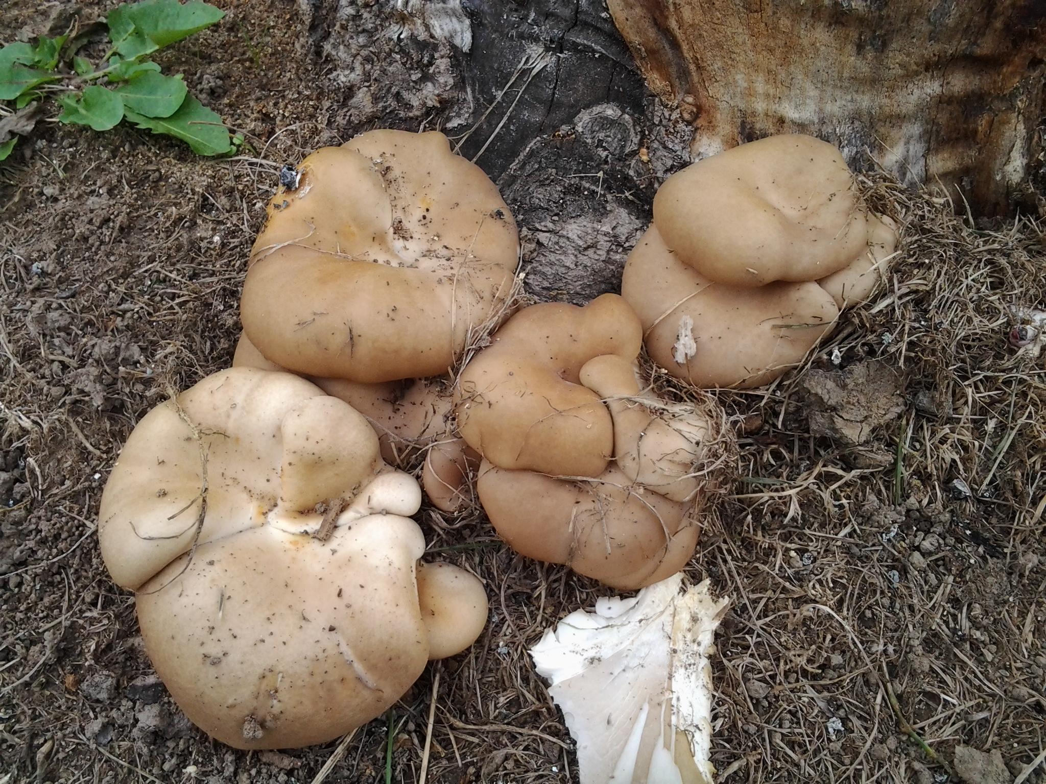 Identifying Edible Mushrooms Indiana