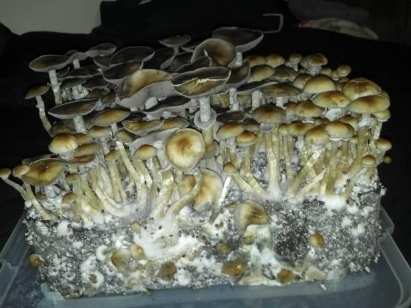 Mushroom Cultivation Shroomery - Year of Clean Water