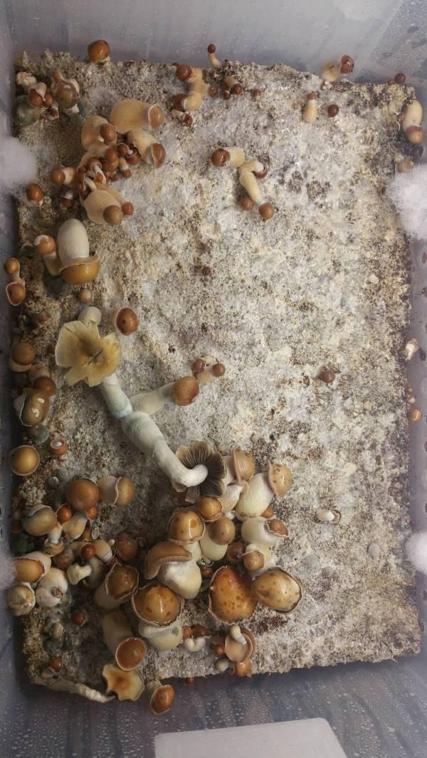 Mushroom Monotub Bulk - Year of Clean Water
